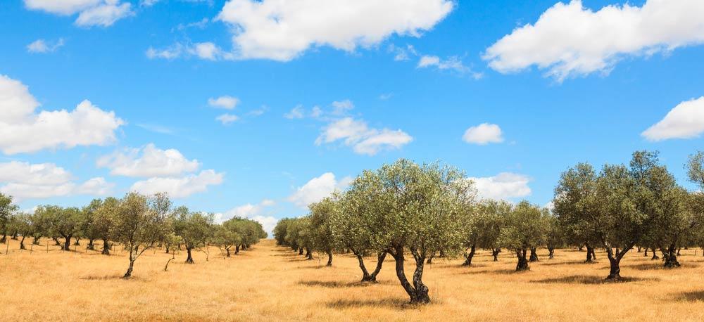 Anbau und Ernte von Oliven